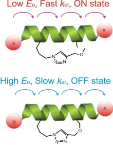 The Effect of a Macrocyclic Constraint on Electron Transfer in Helical Peptides